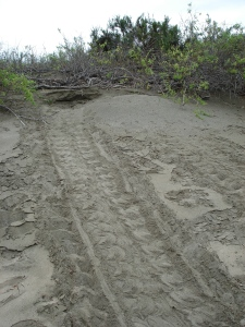 Marine tortoise tracks