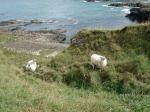 Sheep enjoying the Coastway
