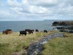Cows enjoying the Coastway
